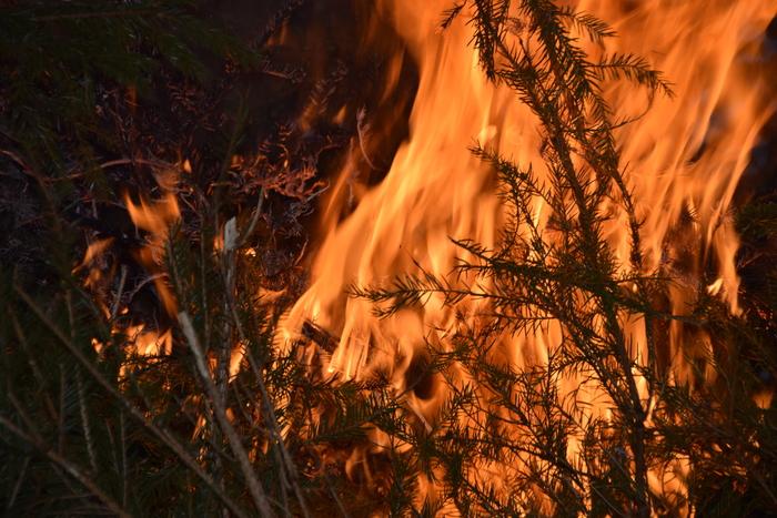 Kuuskede põletamine